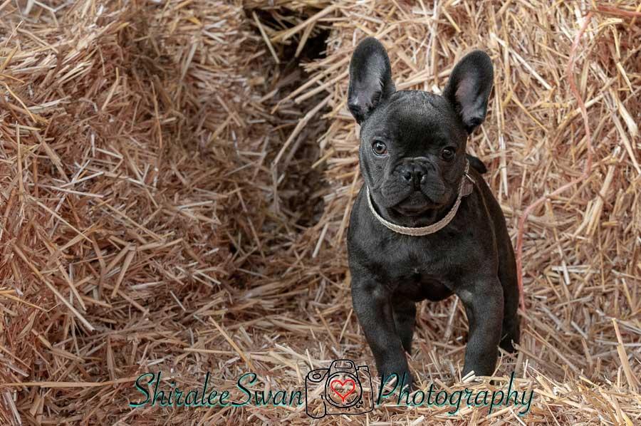 French Bulldog puppy photoshoot by Shiralee