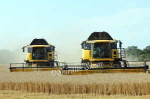 two large yellow combine harvesters